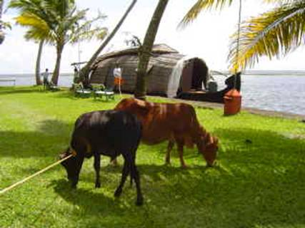 Cows graze in the gardens as we board the houseboat